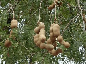 arbol-de-tamarindo