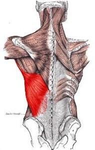 músculos-de-la-espalda