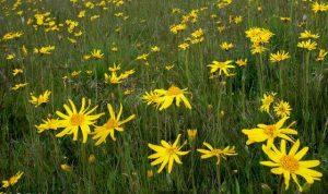 Arnica planta medicinal