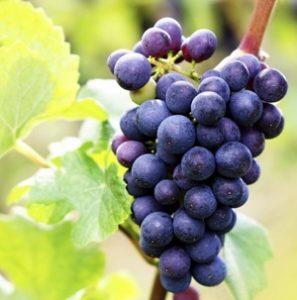 Es verdad que la uva engorda