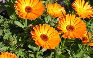 plantas-medicinales-4