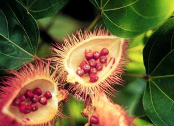 plantas medicinales-achiote