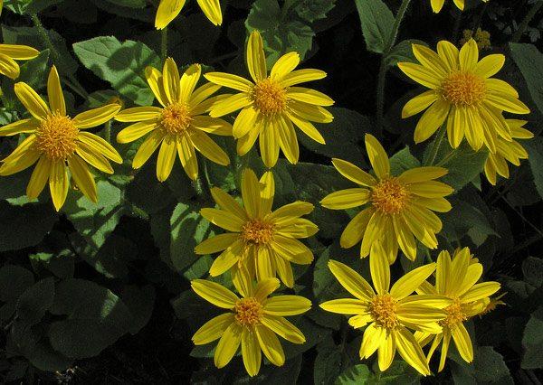 plantas-medicinales-arnica