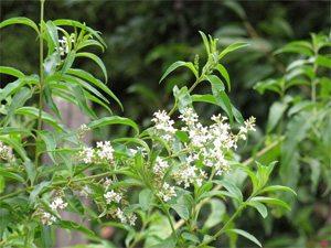 plantas-medicinales-cedron
