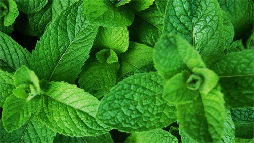 plantas-medicinales-hierba-buena