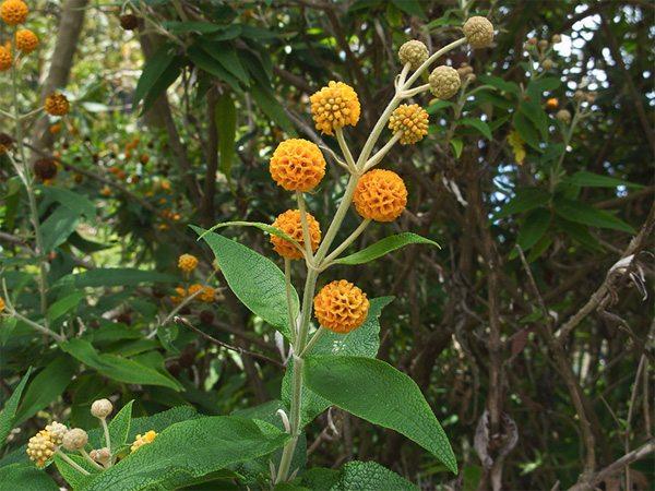 plantas-medicinales-matico