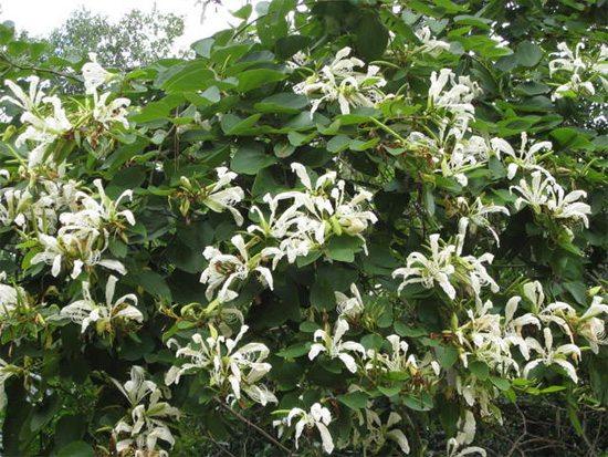 plantas-medicinales-pata-de-vaca