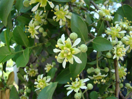 plantas-medicinales-quillay