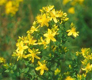 plantas-medicinales-san-juan-pericon