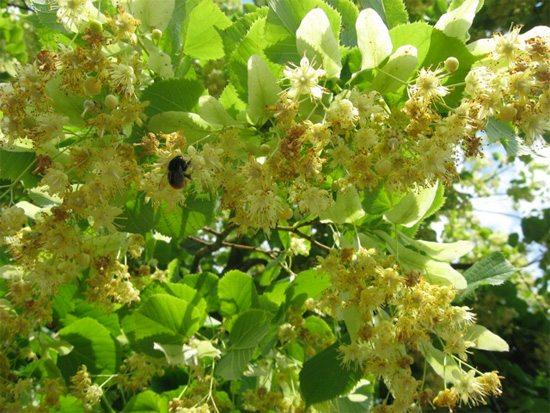plantas-medicinales-tilo