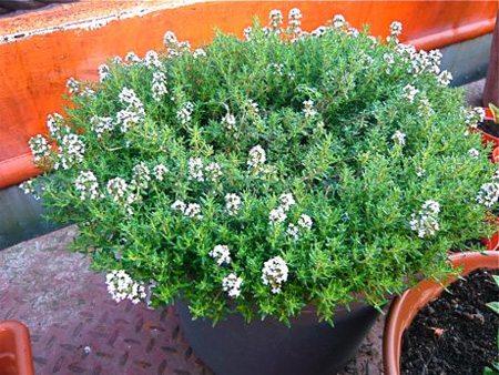 plantas-medicinales-tomillo