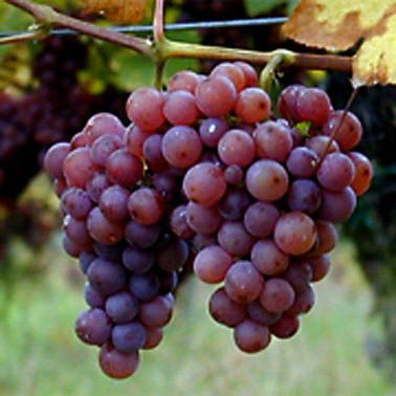 aceite-de-semillas-de-uva-fruto