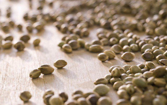 semillas-de-canamo-4