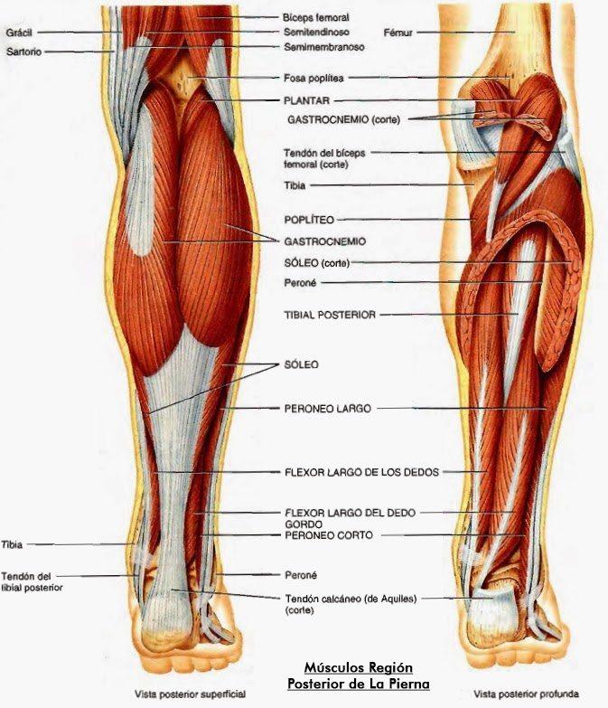 Anatomía De Los Músculos De Las Piernas: La Guía Definitiva - La ...