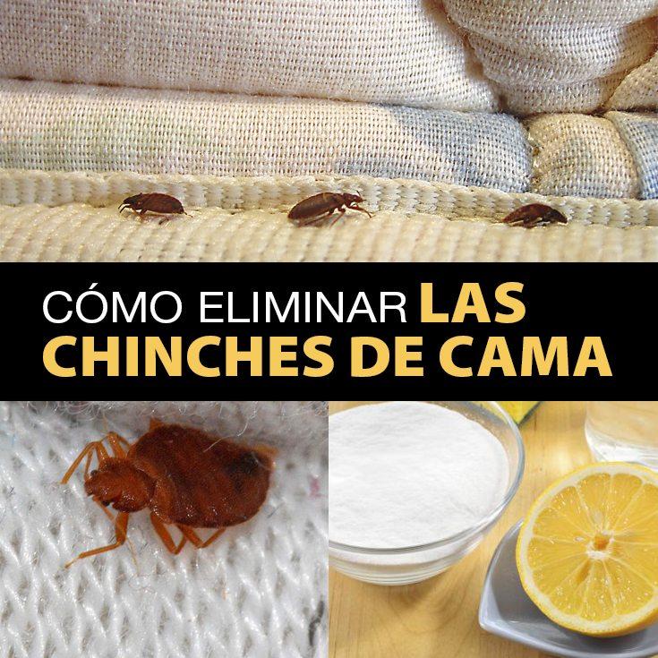 C mo eliminar las chinches de cama r pidamente la gu a for Como combatir los bichos de la humedad