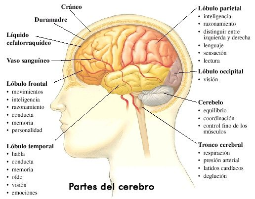 Cómo Funciona El Sistema Nervioso? - Te Soprenderá Conocer Esto - La ...
